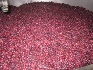 Saskatoon berries in the vat.
